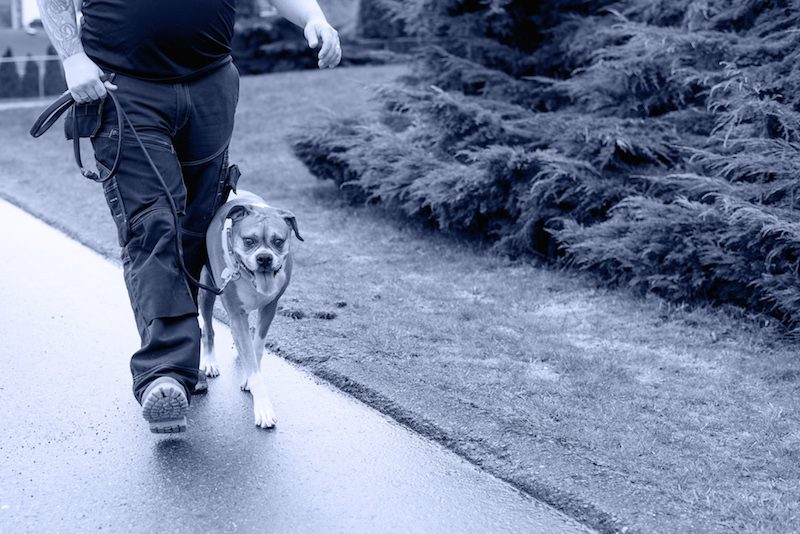 Superior Canine Training Inc. Dog trainer walks an on-leash boxer during a dog obedience training session in Abbotsford, British Columbia, Canada.