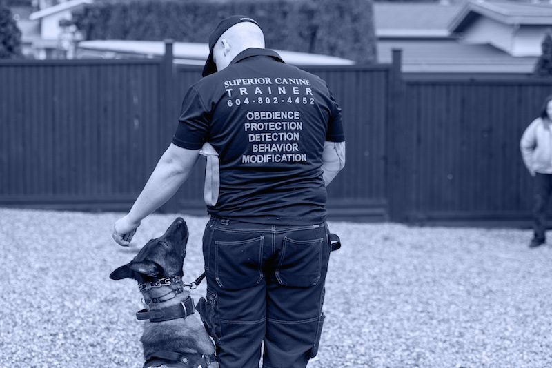 Superior Canine Training Inc. Head dog trainer Aaron Kemp works with a Belgian Malinois during a dog obedience course.